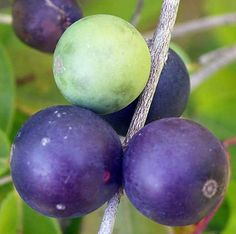 Blue Grape fruits have quite tasty, grape-berry flavored pulp.     Myrciaria vexator