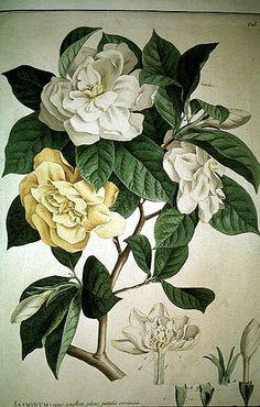 Jasminum from Ehret, Pl. Papil. Rar., 1748-1759    http://www.plantsystematics.org/reveal/pbio/FindIT/ehret.html