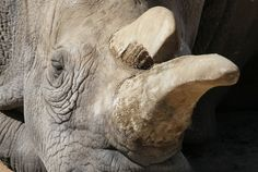 The 41-year-old Nola died this week, leaving only three northern white rhinos left in the world