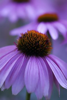 Purple Coneflower/ I'm a gardener and never have I come across a Purple coneflower..this would be wonderful to find