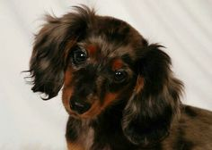 Dachshund puppy.... With a face like this I may need one of these!