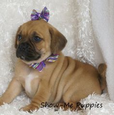 "Chug puppies for sale in west MI | CUTE CHUG PUPPIES "" in ..."
