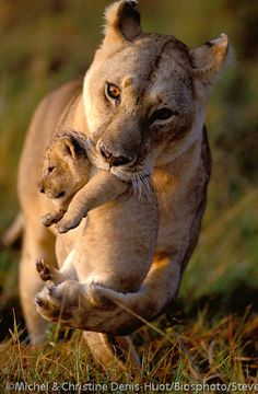 Africa | Lioness carrying her cub in her mouth, Masai Mara, Kenya | © Steve Bloom