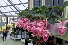 Lantern Flower Seeds for planting in pot or ground easy to grow flower seeds as bonsai DIY home garden Tropical Flowers, Exotic Flowers, Tropical Garden, Tropical Plants, Pink Flowers, Beautiful Flowers, Cascading Flowers, Garden Plants, Indoor Plants