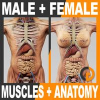 Marvelous - Human Male and Female Complete Anatomy - Body, Muscles, Skeleton, Internal Organs and Lymphatic Human Anatomy Female, Human Anatomy And Physiology, Female Reproductive System Anatomy, Muscle Anatomy, Body Anatomy, Anatomy Drawing, 3d Human, Human Body, Male Figure Drawing