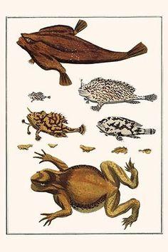 Toad, Longsnout Batfish, Sargassumfishes, Marine Snails,