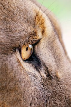 The eye of the lion
