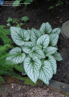 View picture of Variegated Siberian Bugloss, False Forget-Me-Not 'Jack Frost' (Brunnera macrophylla) at Dave's Garden. All pictures are contributed by our community.