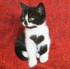 The cutest little black and white cat weve ever seen has to be Zoë the cat with a heart on her chest. Shes basically the cat version of a Care Bear and it might be too much cuteness for us to handle.