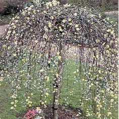 Pink Weeping Willow Tree | Found on treesdirect.co.uk
