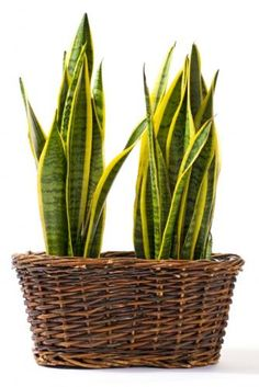I like the wicker basket idea - Indoor plants for shade ...