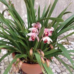 Orquideas cor de rosa