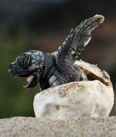 Loggerhead sea turtle hatching out of shell. Photo by Solvin Zankl Vida Animal, Mundo Animal, Baby Animals, Funny Animals, Cute Animals, Newborn Animals, Beautiful Creatures, Animals Beautiful, Turtle Hatching