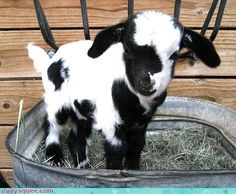Aww Baby Goat!!!! I so want one!!! I'd name him Billy the Kid...GET it? Haha..but no, seriously though...Super Cute!