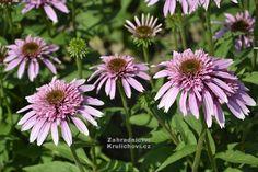 """Echinacea """" Pink Sorbet """" ® - třapatkovka Zahradnictví Krulichovi - zahradnictví, květinářství, trvalky, skalničky, bylinky a koření"""