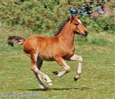 bay colt FOAL - SUPERSTAR FOAL FOR SALE http://www.lardidar.co.uk/Horse/superstar-foal-for-sale-listing-137.aspx#.Uj2n8VOAUfQ