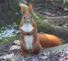 Eichhörnchen Einzelgänger Kletterer nagetier tagaktiv