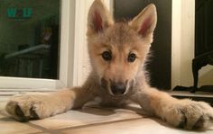 Wolf Puppy Is Confounded By a Case of the Hiccups