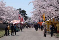 Cherry blossom at Gappo park, Aomori