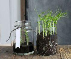Diy Green Pea Grass