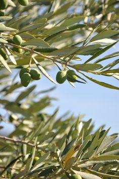 Provence toujours #green #vert #Provence #tourismpaca #tourismepaca #France #olive #olivier #olivetree