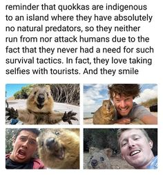 A reminder that Quokkas live on an island with no natural predators, so they aren't afraid of or attack humans since they don't need those survival tactics. They love selfies and smile. Cute Animal Memes, Animal Jokes, Cute Memes, Cute Funny Animals, Cute Baby Animals, Funny Cute, Funny Memes, Memes Humor, Hilarious