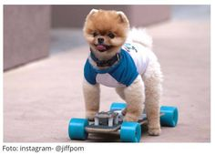 Jiff The Pomeranian Is Easily The Best Dressed Model On Instagram - Jiff the pomeranian is easily the best dressed model on instagram