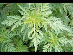 Hay Fever Warning: North American Ragweed Expected to Spread in Europe Natural Remedies For Allergies, Natural Headache Remedies, Natural Cures, Herbal Remedies, Organic Weed Control, Garden Weeds, Environmental Health, Edible Plants, Plants
