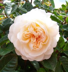 English Rose - for bouquet