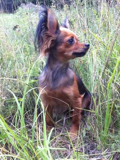 Russkiy Toy, also know as a Russian Toy Terrier...oh my it's so cute! Resembles a long haired Chihuahua.