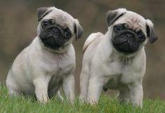 Cute #Pug Puppies