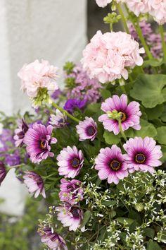 Stjärnöga http://www.blomsterlandet.se/Vaxter-och-tillbehor/Ute/Sommarplantor/Ovriga-sommarplantor/Stjarnoga/