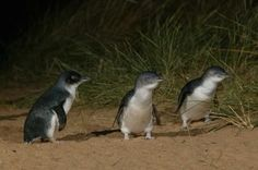 See Phillip Island's Penguins on parade when you head to #Melbourne #competition