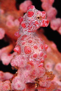 Pigmy Sea horse / 500px