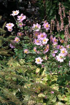 EVERGREEN PLANT 1X CEANOTHUS VICTORIA SHRUB 40-50cm P9