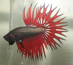 Indonesia Red Copper Crowntail Male Betta