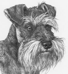 Schnauzer pencil sketch.