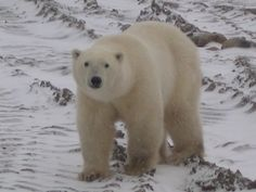 Polar bear on tundra near Churchill, Manitoba