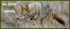 Coyotes are a huge nuisance, and many people actively hunt them on a regular basis. Here you will find some useful coyote hunting tips and tricks and the many reasons to hunt them.