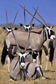 South Africa, Oryxes or gemsbok. Absolutely beautiful looking creatures The Animals, Nature Animals, Wild Animals, Wild Life, Beautiful Creatures, Animals Beautiful, Tier Fotos, African Animals, African Safari