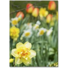 Trademark Fine Art Double Headed Daffodil Canvas Art by Kurt Shaffer, Size: 18 x 24, Multicolor