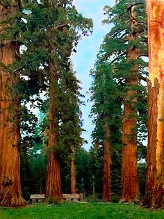 Bob and Nadine Johnston - Tall Trees in Yosemite National Park
