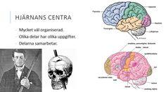 Hjärnan del 1