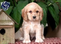 Timmy – Cocker Spaniel Puppies for Sale in PA | Keystone Puppies