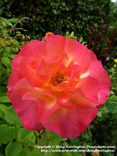 """Gorgeous rose """"Mardi Gras' in my garden. Love the color, also fragrant, disease resistent & prolific bloomer"""