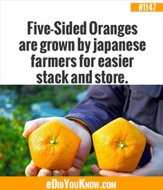 Five-Sided Oranges are grown by japanese farmers for easier stack and store. Cool Science Facts, Wtf Fun Facts, True Facts, Crazy Facts, Random Facts, Japanese Farmer, Something Interesting, Interesting Facts, Unusual Facts