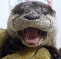 Tagged with aww, otter; Its just an otter day Otters Cute, Baby Otters, Otters Funny, Baby Sloth, Cute Little Animals, Cute Funny Animals, Otter Pup, Otter Love, Cute Animal Pictures