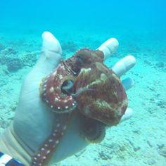 Baby octopus! #scuba #Hawaii #Gopro #diving with #octopus #coralreef #babyoctopus #deepblueocean with @hawaiiscubadiving #honolulu http://ift.tt/1U3lbQj