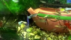 How I #fish #tank #howto #make #design #aquarium #FHD #1080P #NEW #2017 #Freshwater #Setup #Disease #Breeding #Plants #Books #Articles #Saltwater  #Guide #Reef #Coral #Live #Rock #Equipment #Reviews #Light #Brine #Shrimp #Hatchery #Osmosis #UV #Sterilizer #Chiller #most #pictures #videos  #movies #youtube #ever  Freshwater Fish Barbs Betta Catfish Cichlids Freshwater Inverts Gourami Livebearers Loaches Puffers Tetras Saltwater Fish Angelfish   Dwarf Angelfish - Large Butterfly Fish…