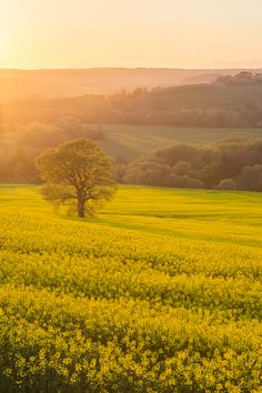 yellow rapeseed fields, Yorkshire